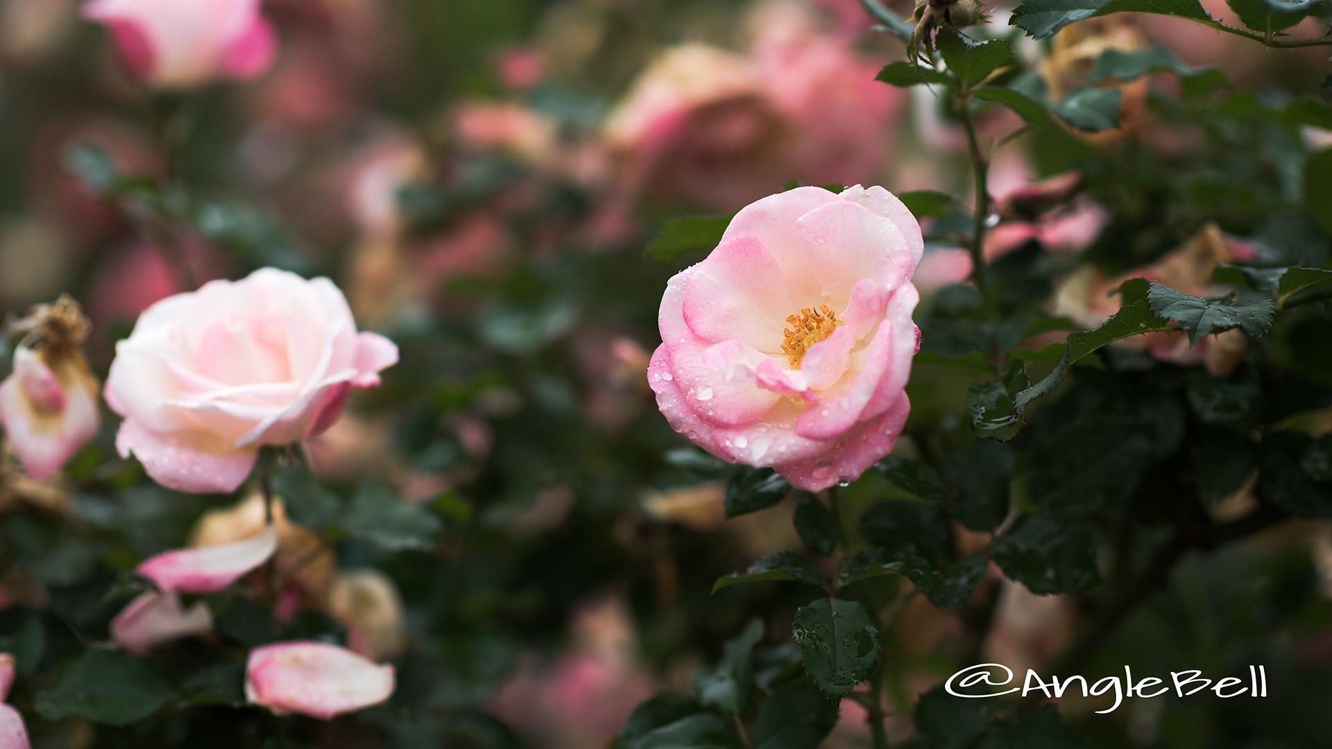桜霞 (バラ) Flower Photo3