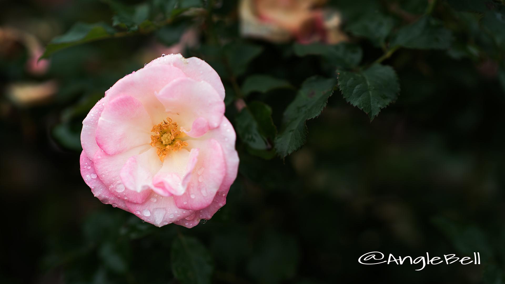 桜霞 (バラ) Flower Photo2