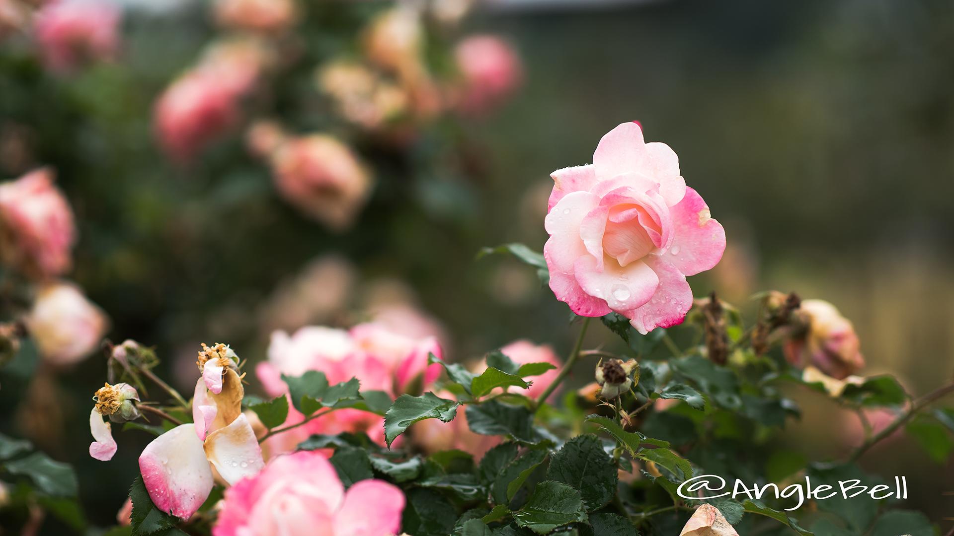 桜霞 (バラ) Flower Photo4