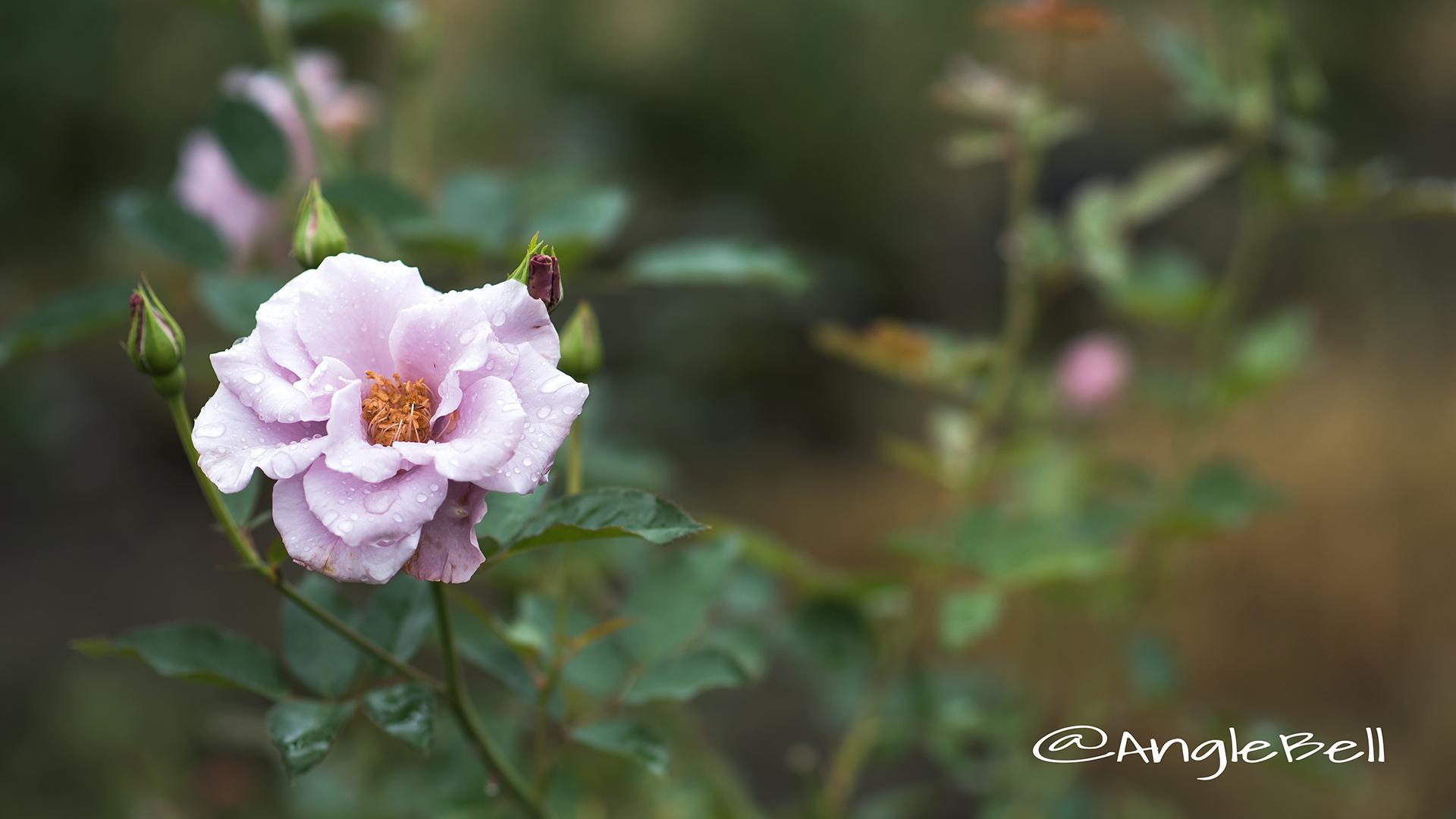 紫の園 (バラ) Flower Photo2
