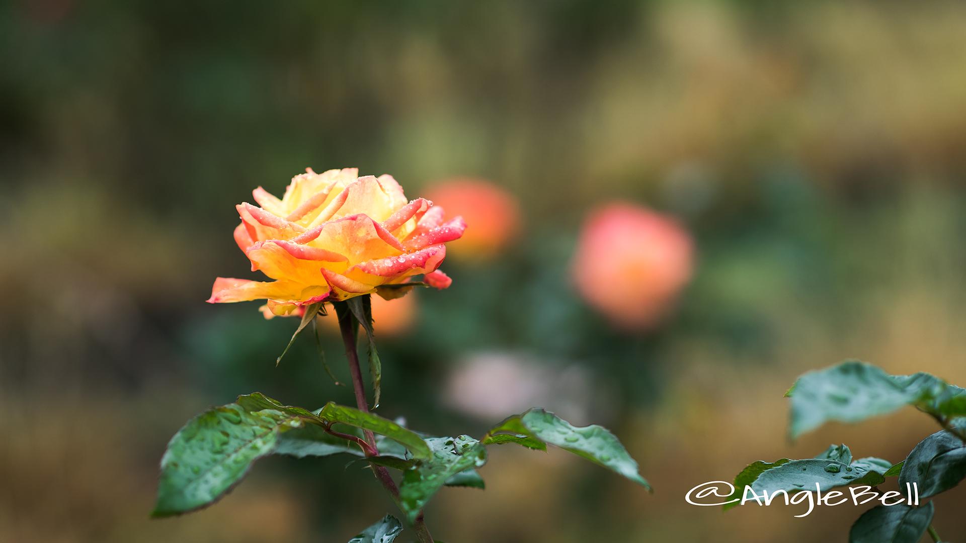 絵日傘 (バラ) Flower Photo2