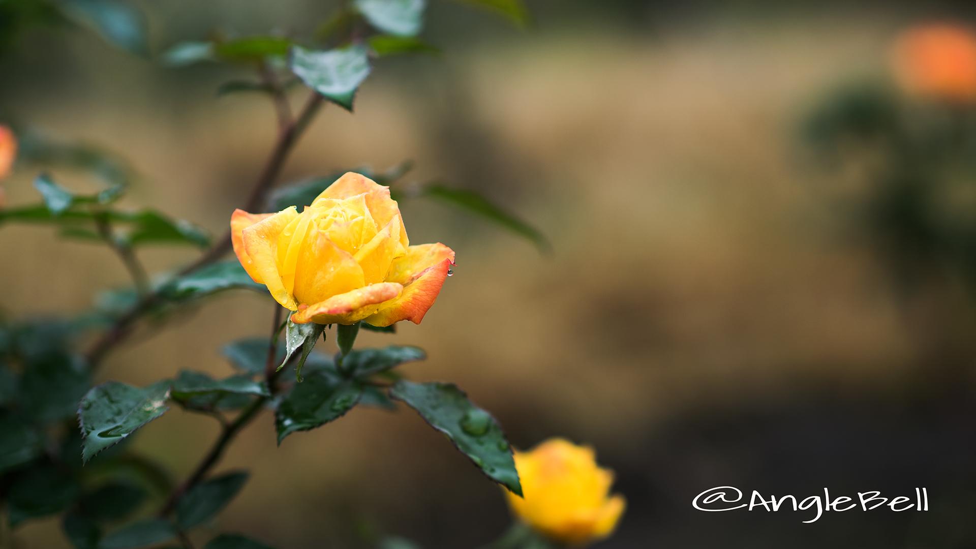 絵日傘 (バラ) Flower Photo3