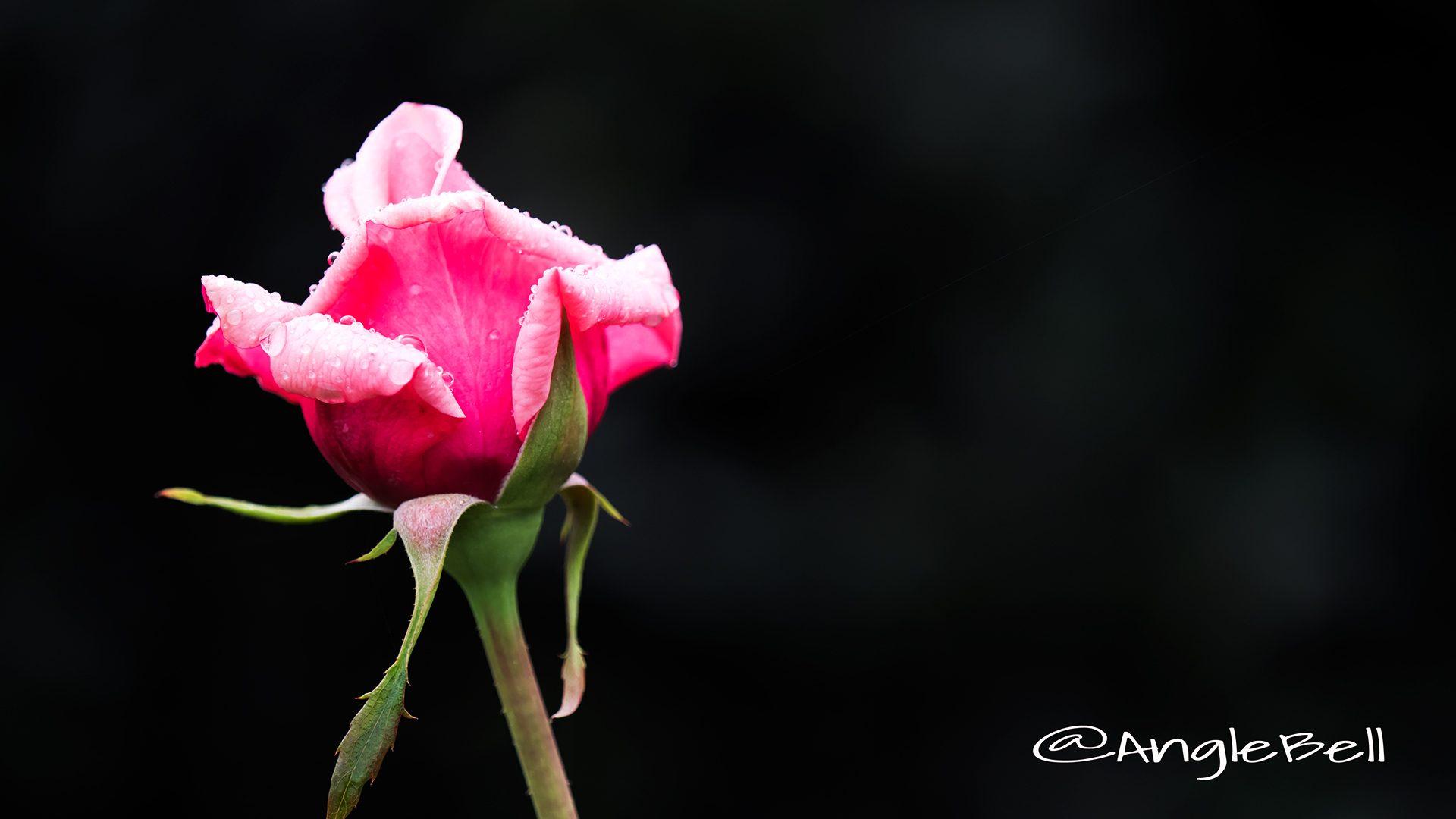 桃香 (バラ)
