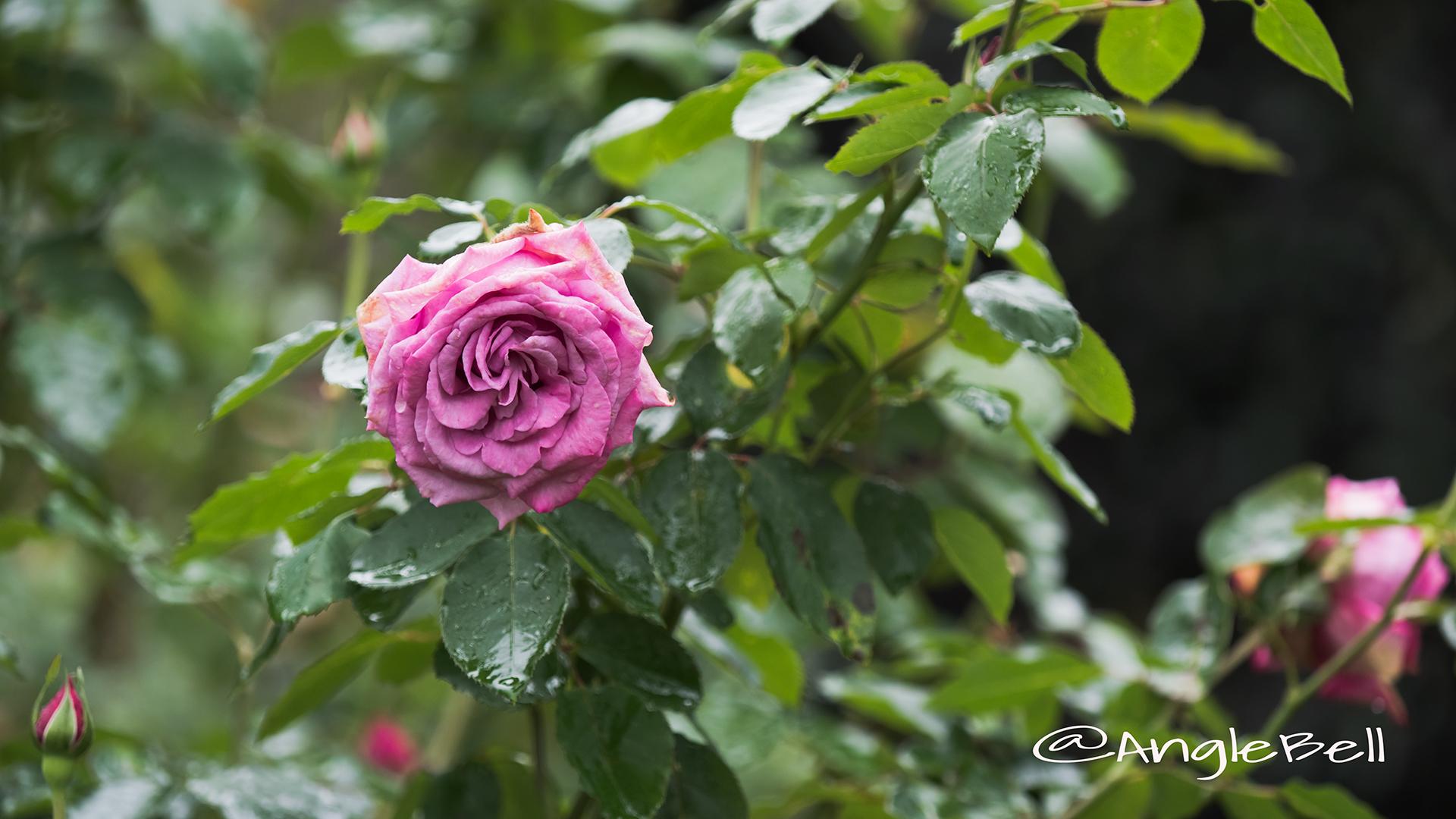 ムーンドロップス (バラ) Flower Photo2