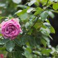 ムーンドロップス (バラ) Flower Photo1