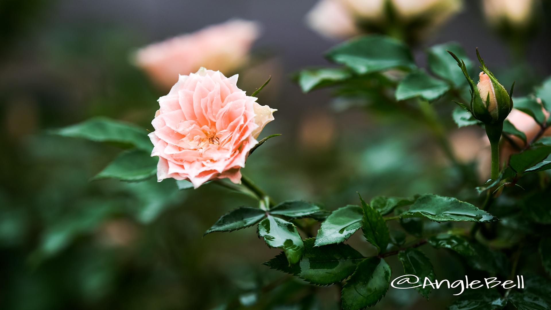 ボンボン (バラ) Flower Photo2