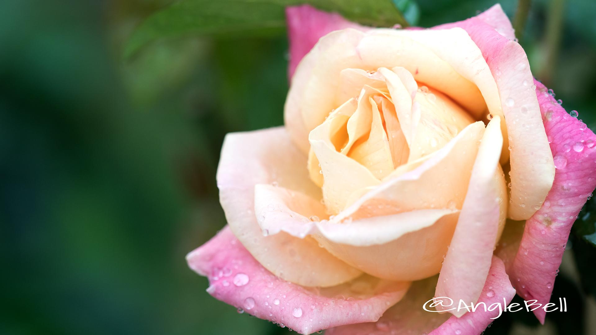 ラッキーピース (バラ) Flower Photo3