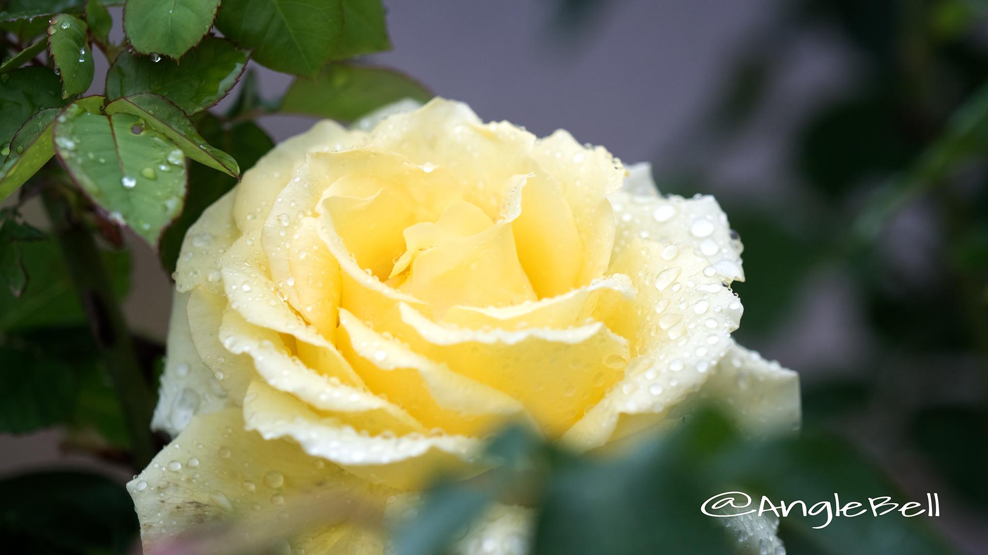 オールスパイス (バラ) Flower Photo2