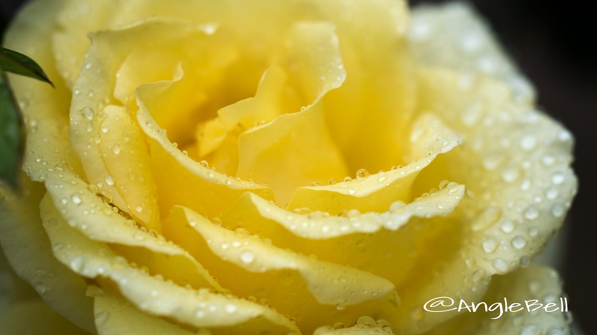 オールスパイス (バラ) Flower Photo3