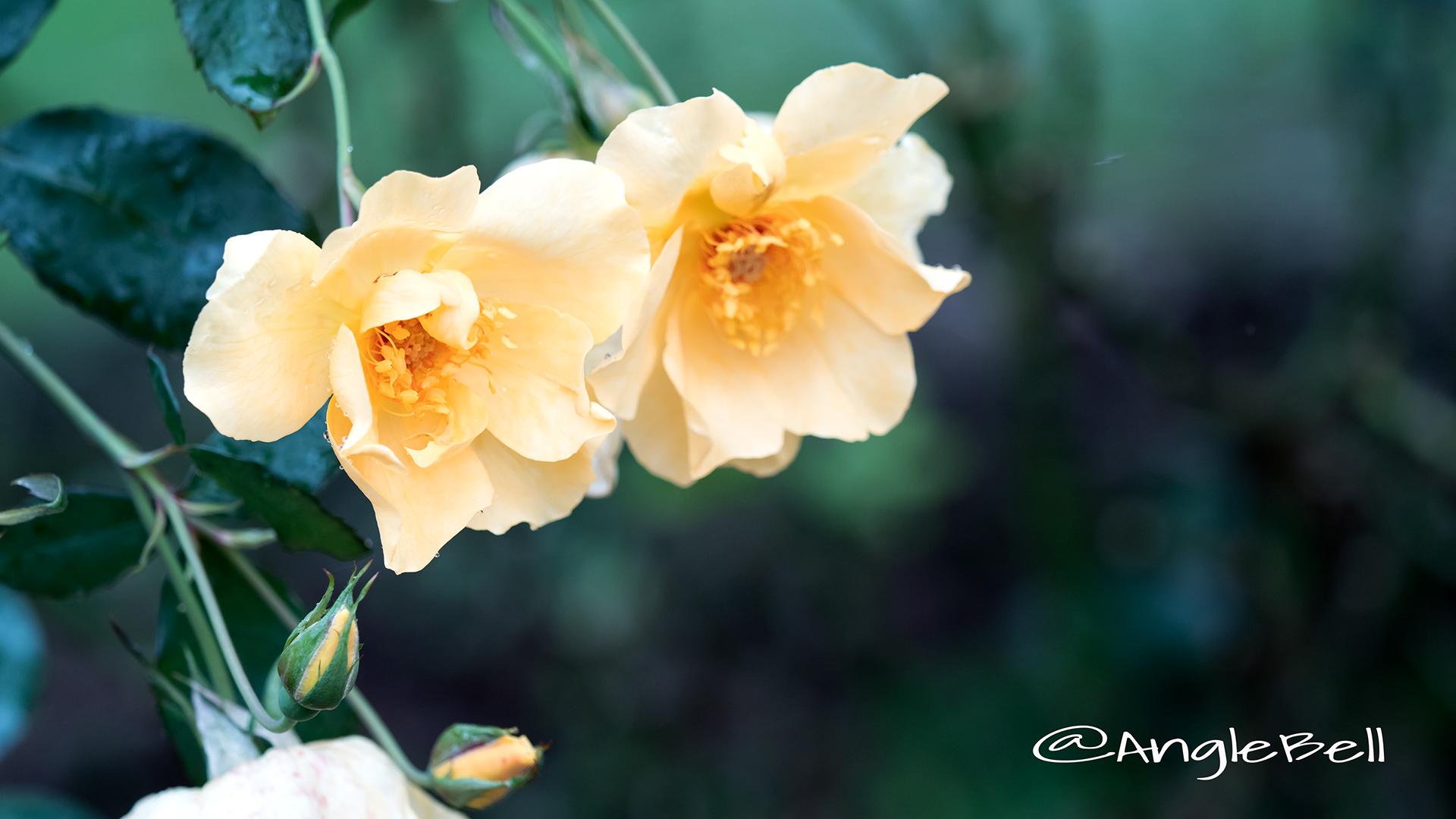 ミカド (バラ) Flower Photo2