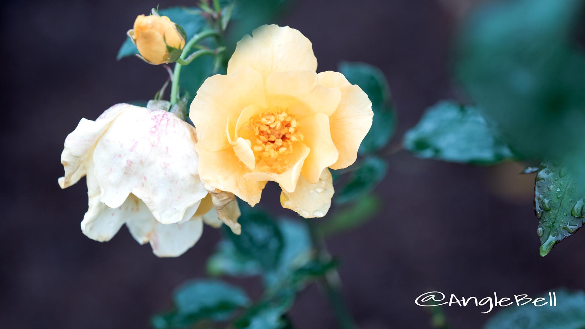 ミカド (バラ) Flower Photo3