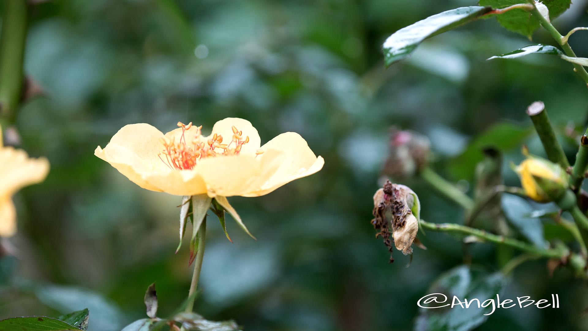 ミカド (バラ) Flower Photo4