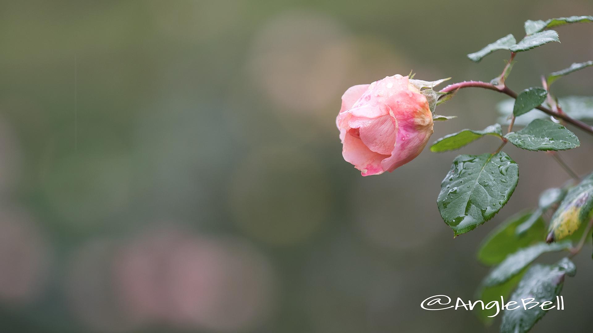 アマンディーン シャネル (バラ) Flower Photo2