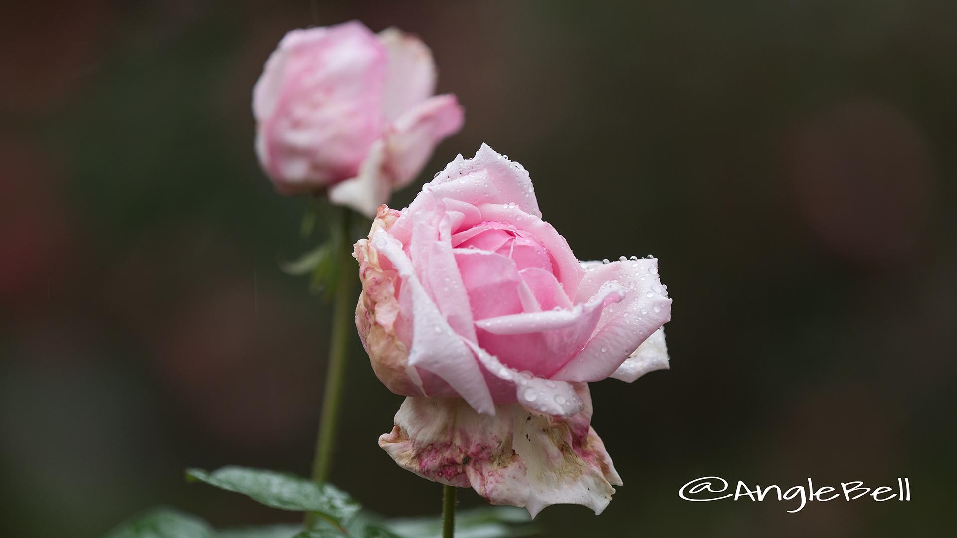 ラ フランス (バラ) Flower Photo2