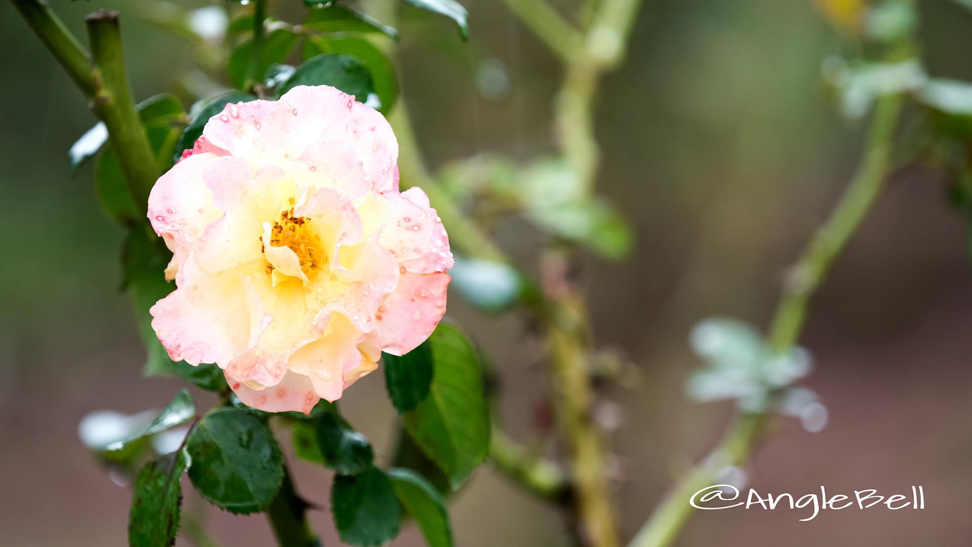 ミリアム (バラ) Flower Photo3