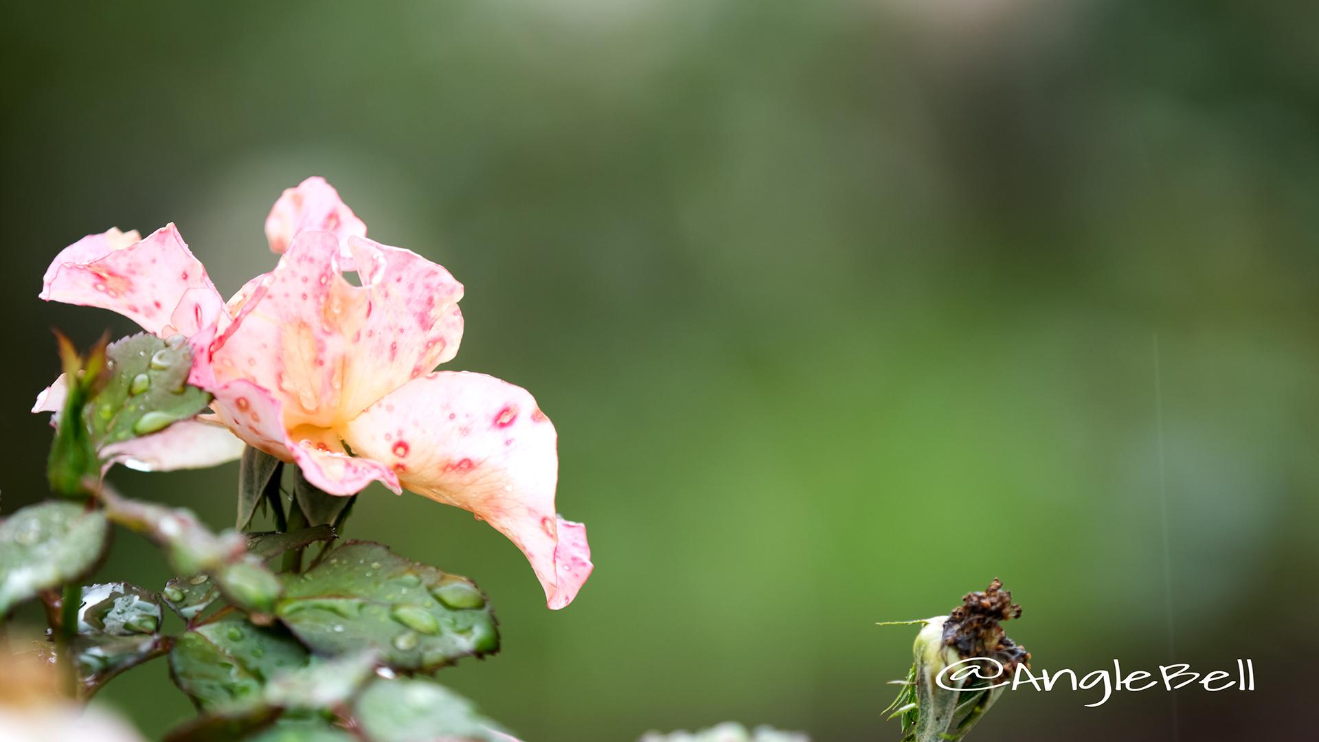 ミリアム (バラ) Flower Photo2