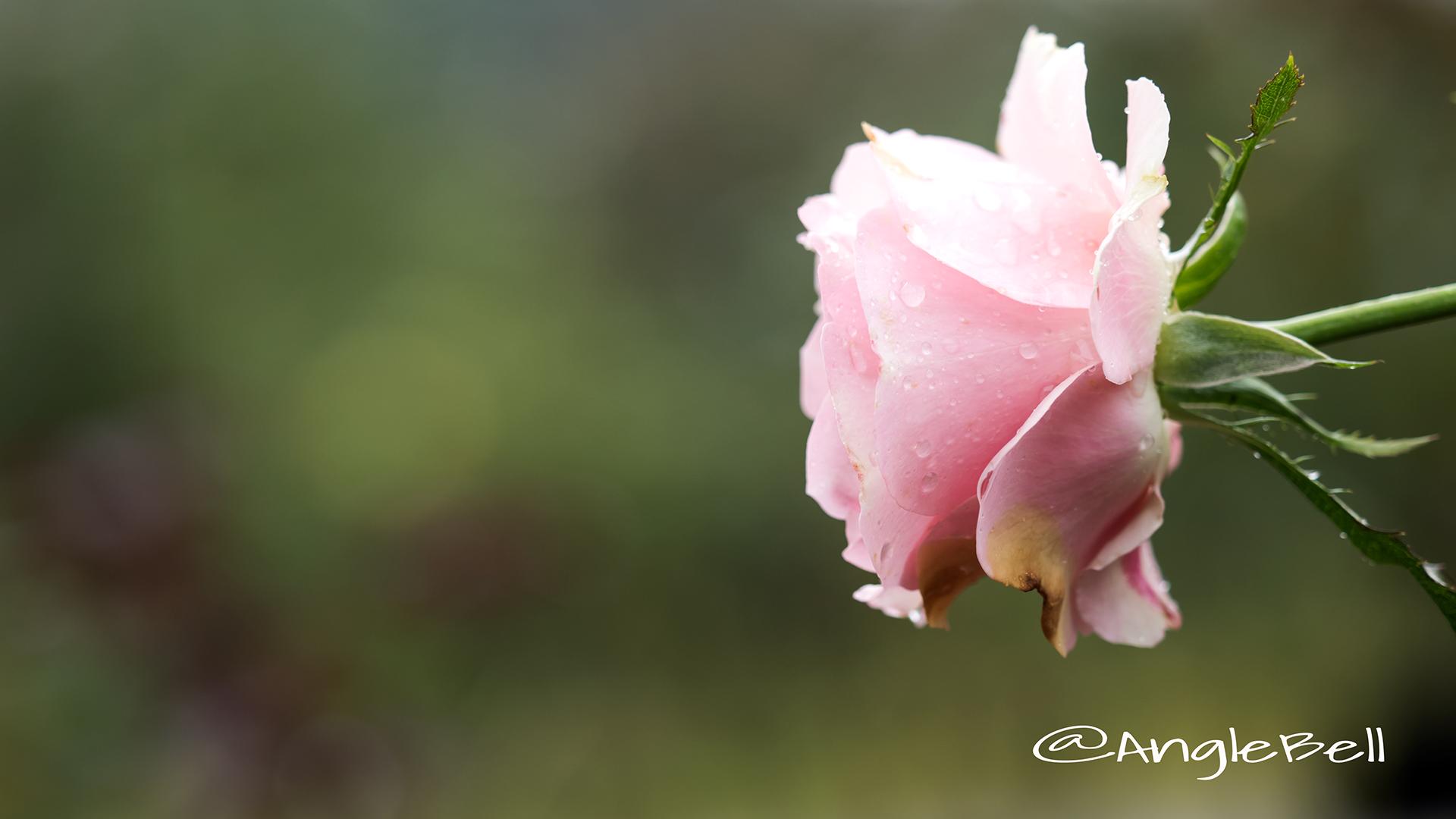 ウエスト コースト (バラ) Flower Photo3