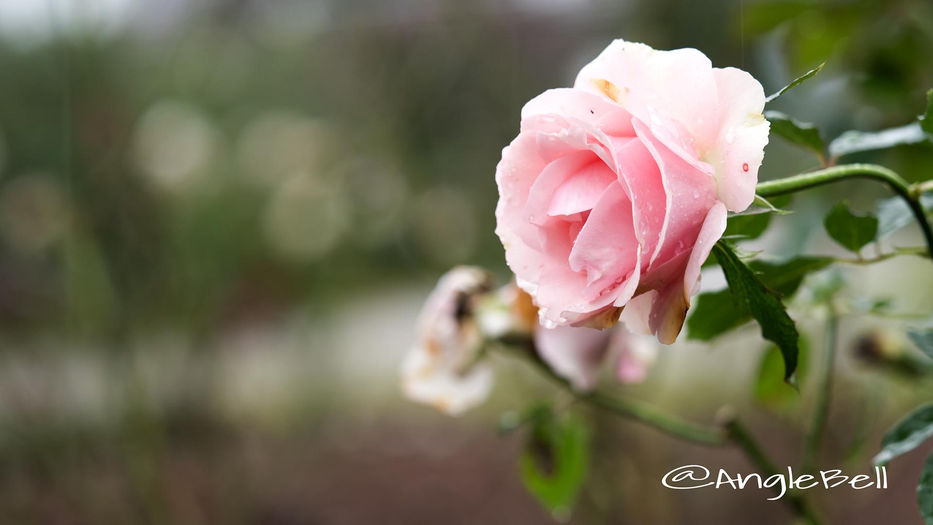 ウエスト コースト (バラ) Flower Photo2