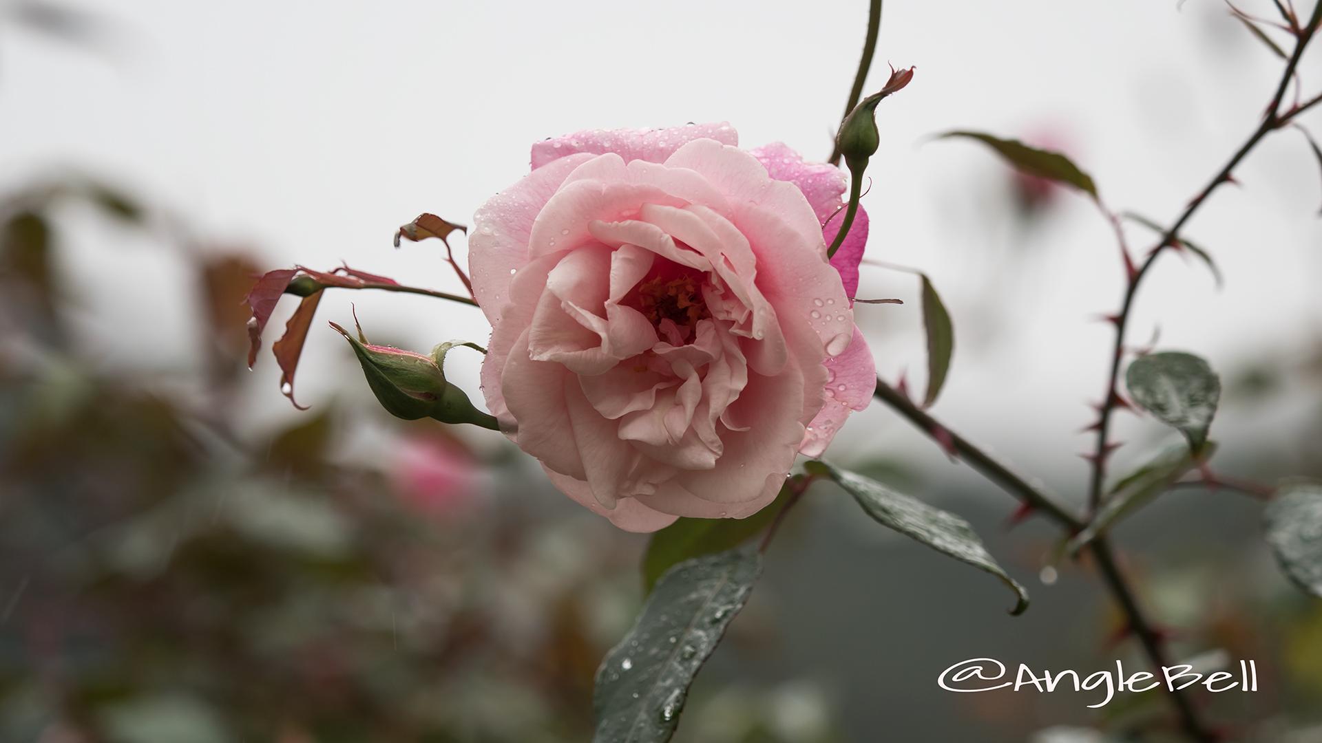 ル ヴェスューヴ (バラ) Flower Photo2