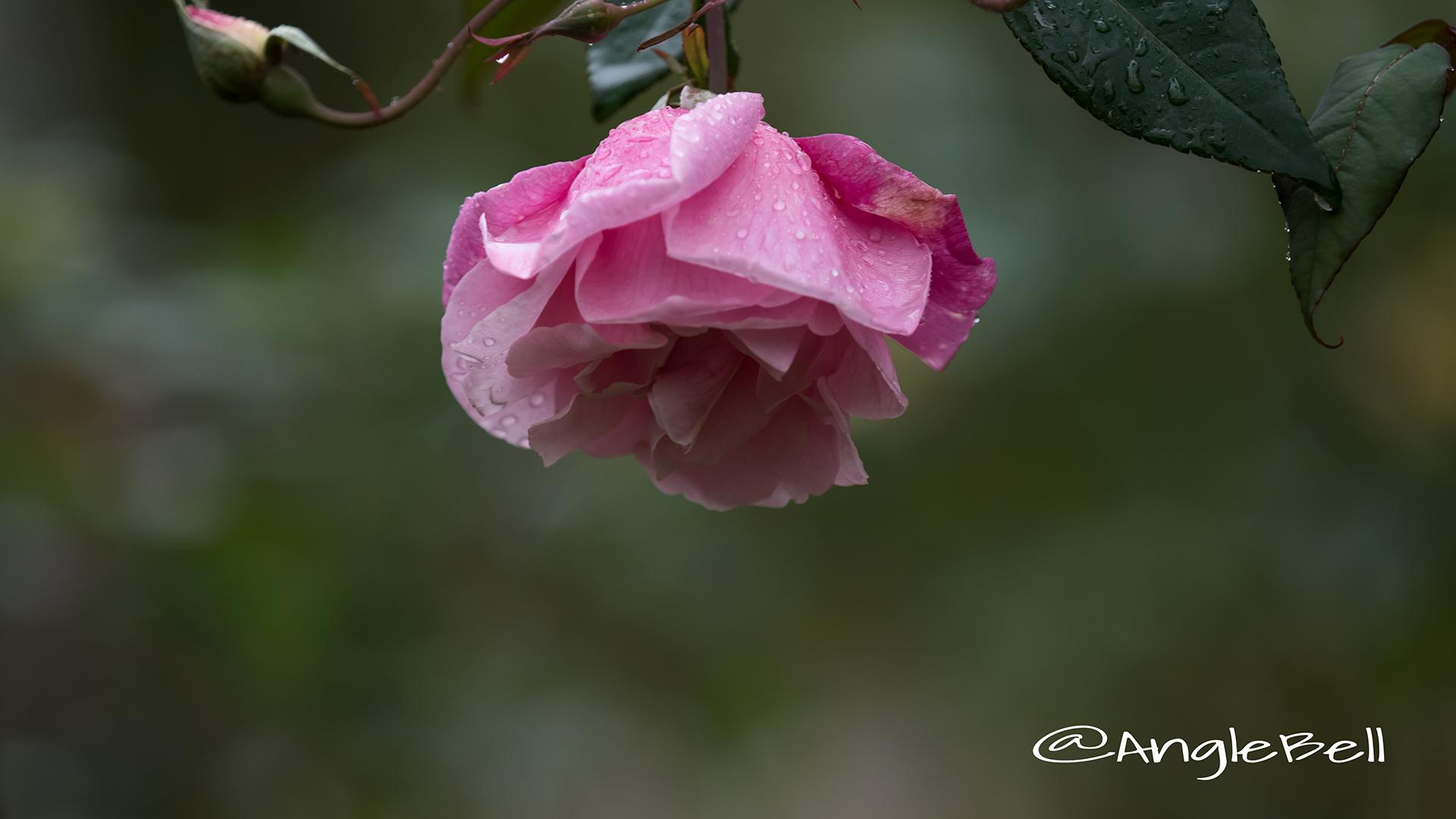 ル ヴェスューヴ (バラ) Flower Photo3