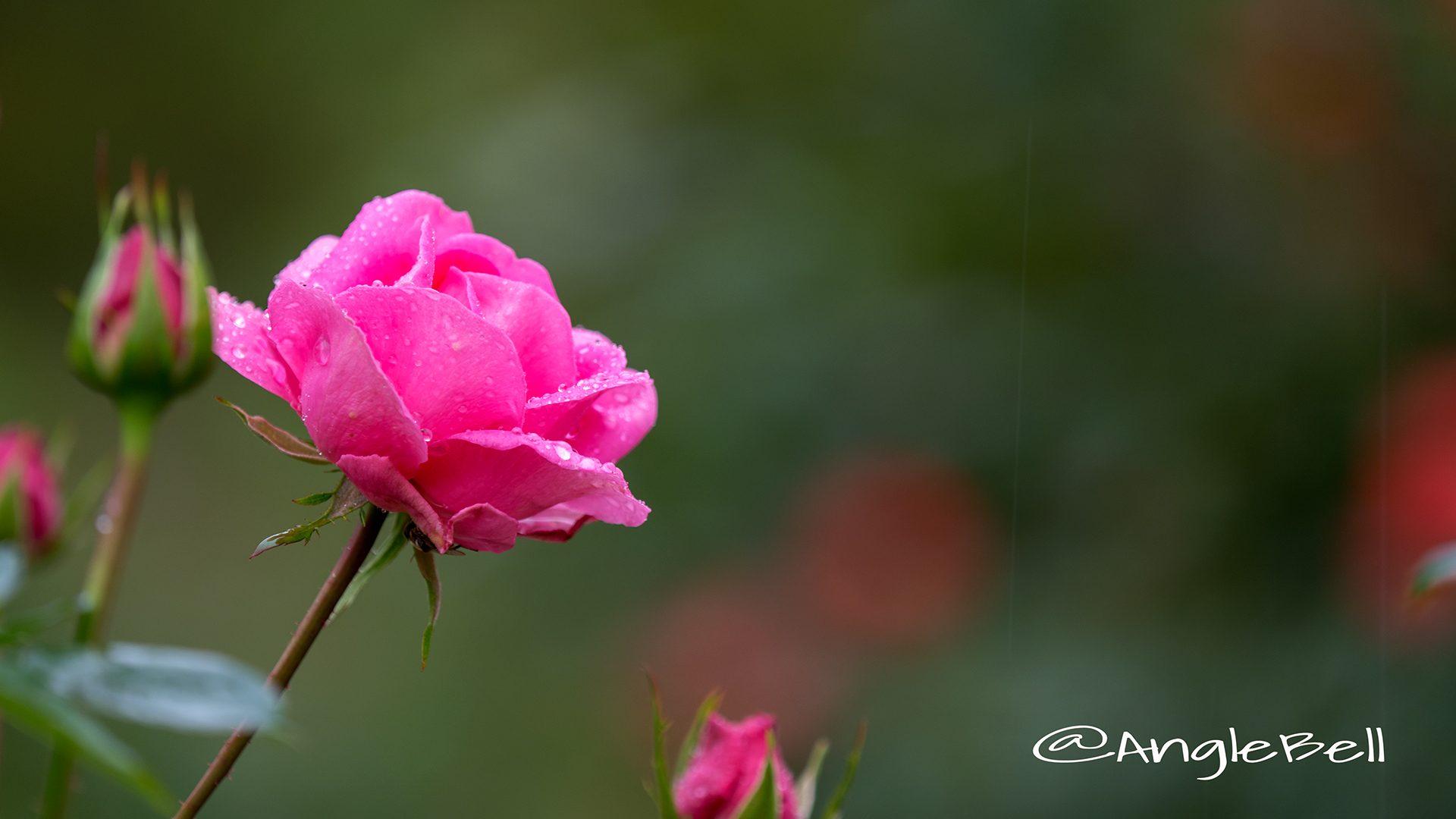ピンク スプリーム (バラ)