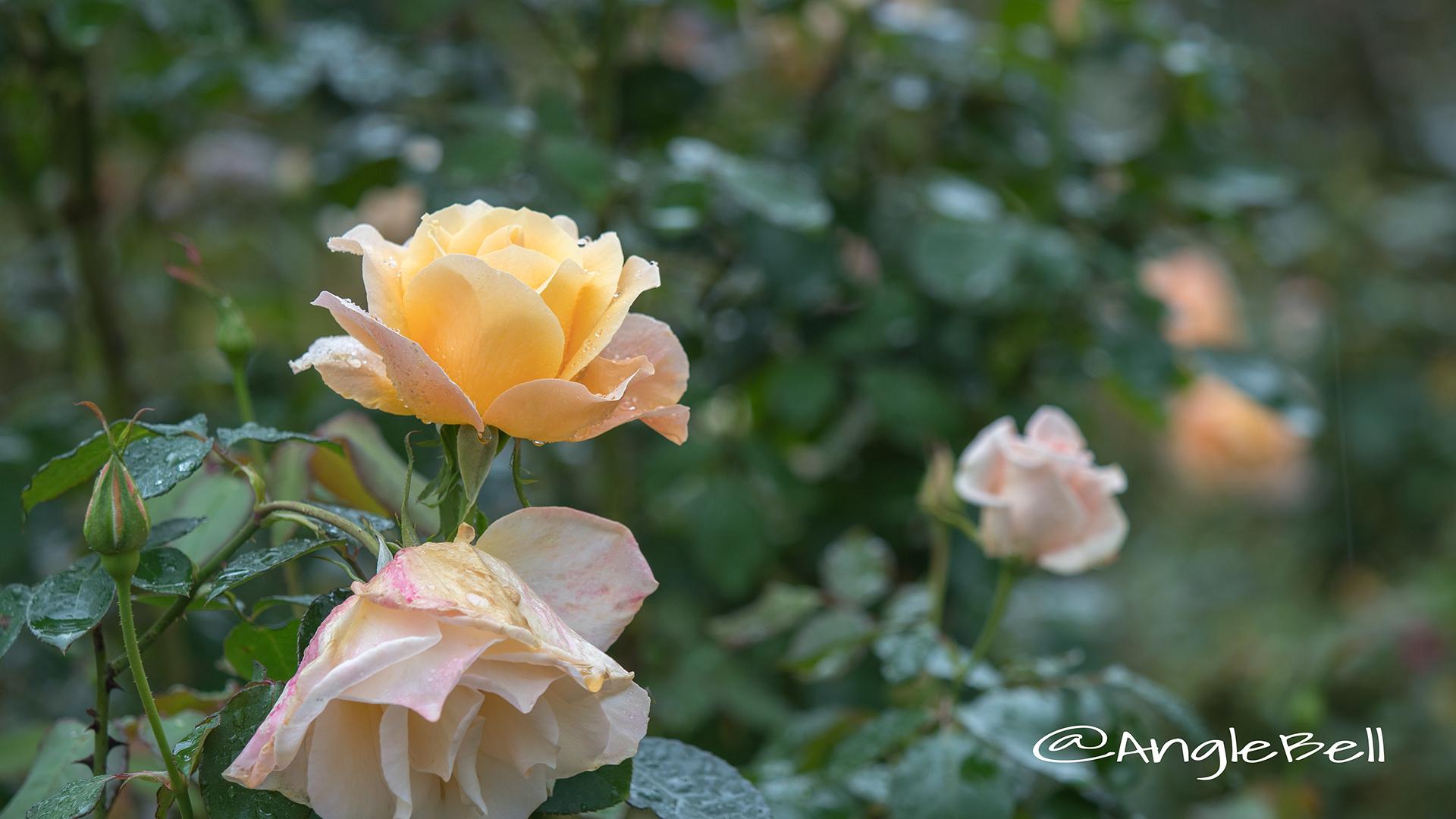 フローラ (バラ) Flower Photo4