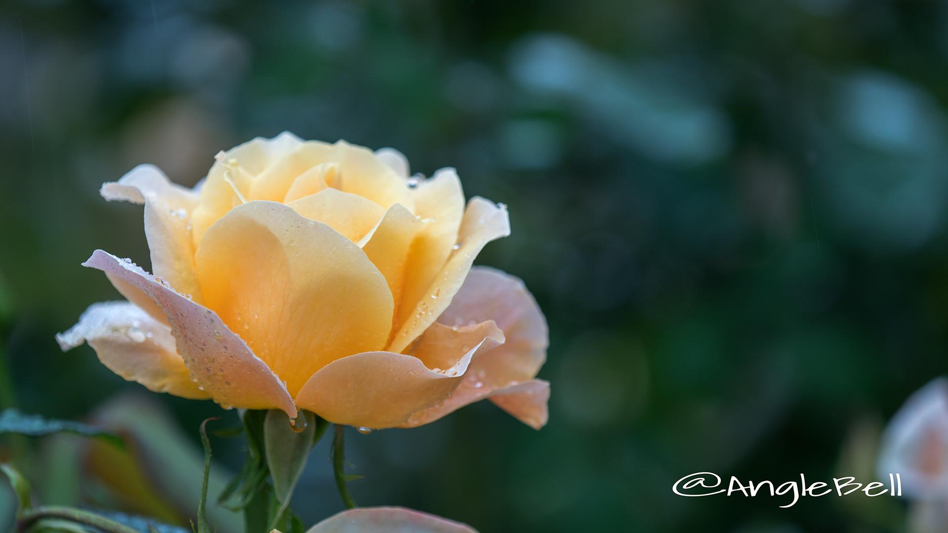 フローラ (バラ) Flower Photo2
