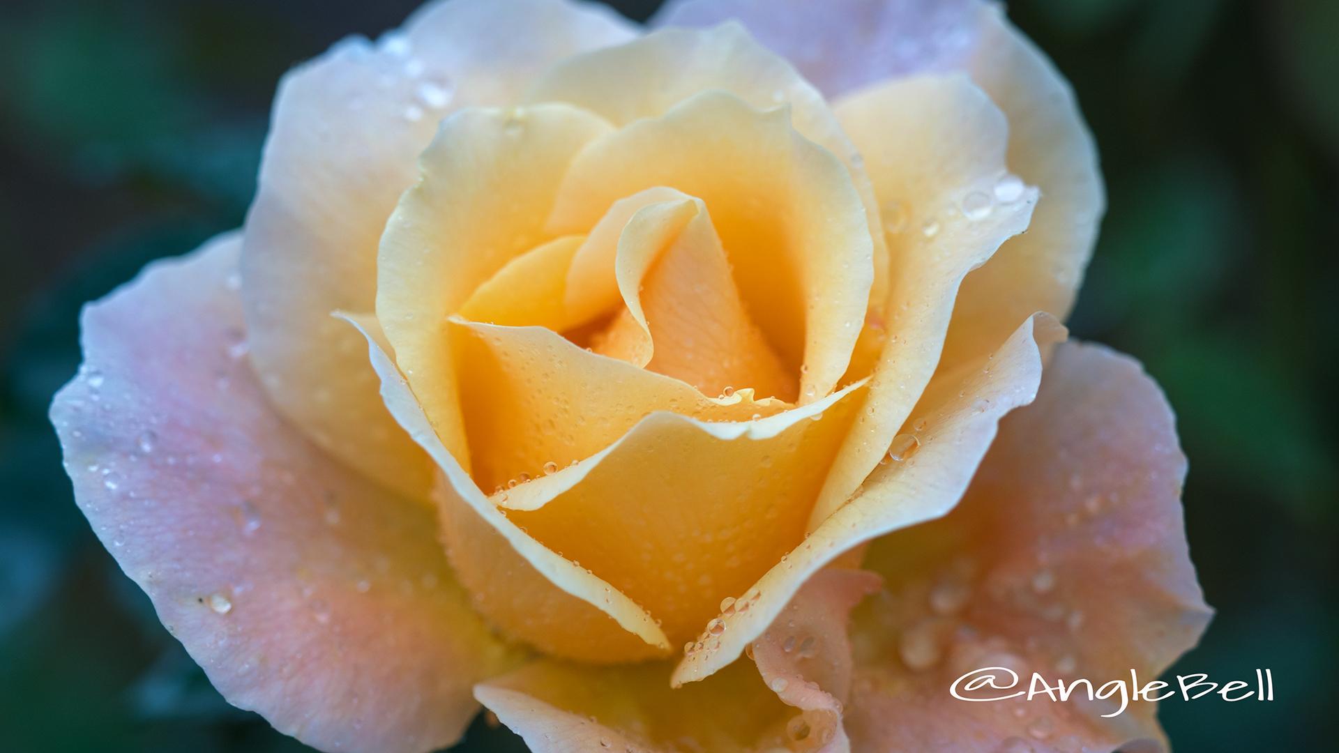 フローラ (バラ) Flower Photo3