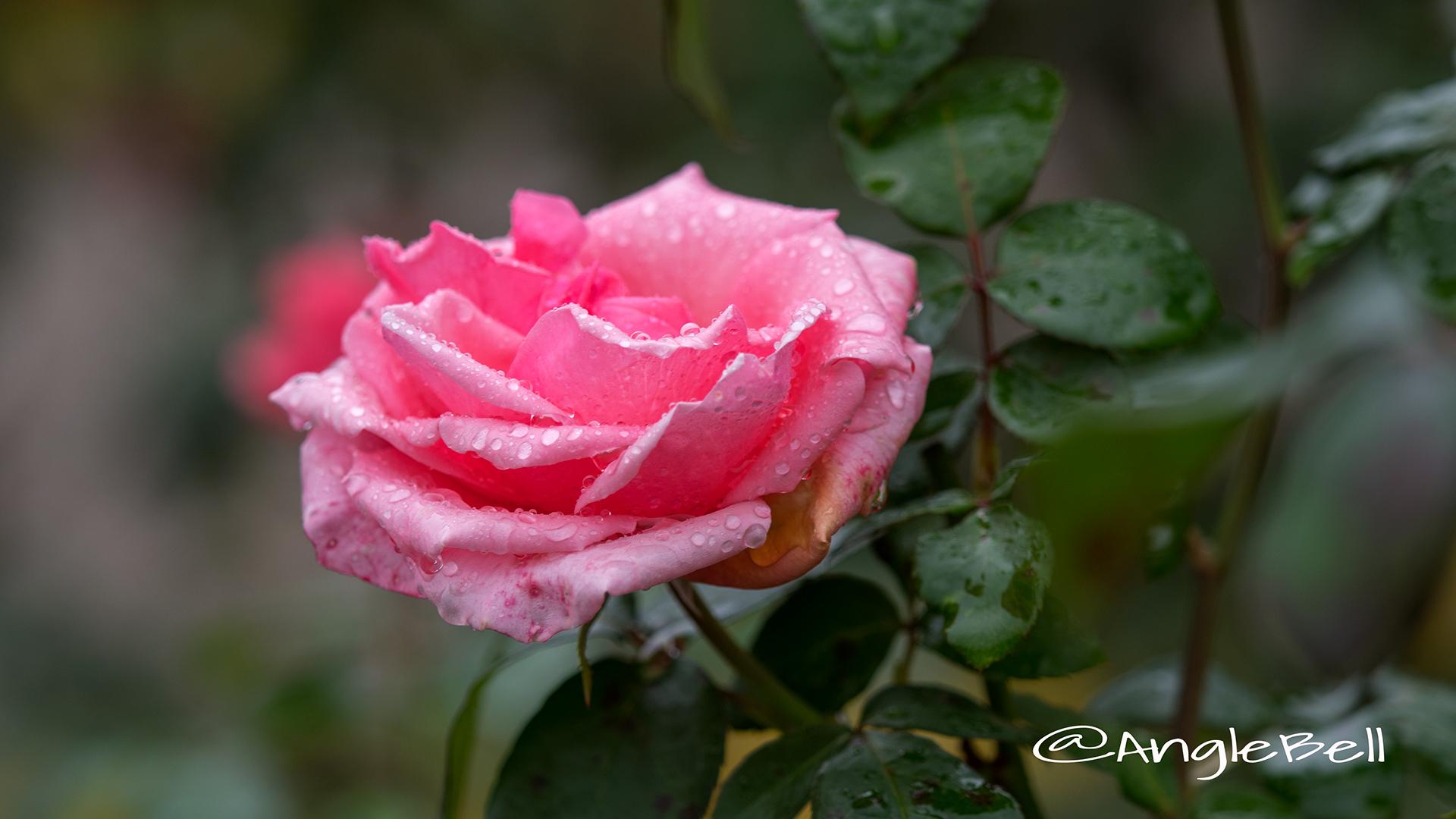 ロイヤル ドット (バラ) Flower Photo3