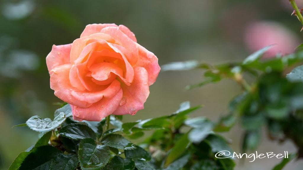 アトランティック スター (バラ) Flower Photo1