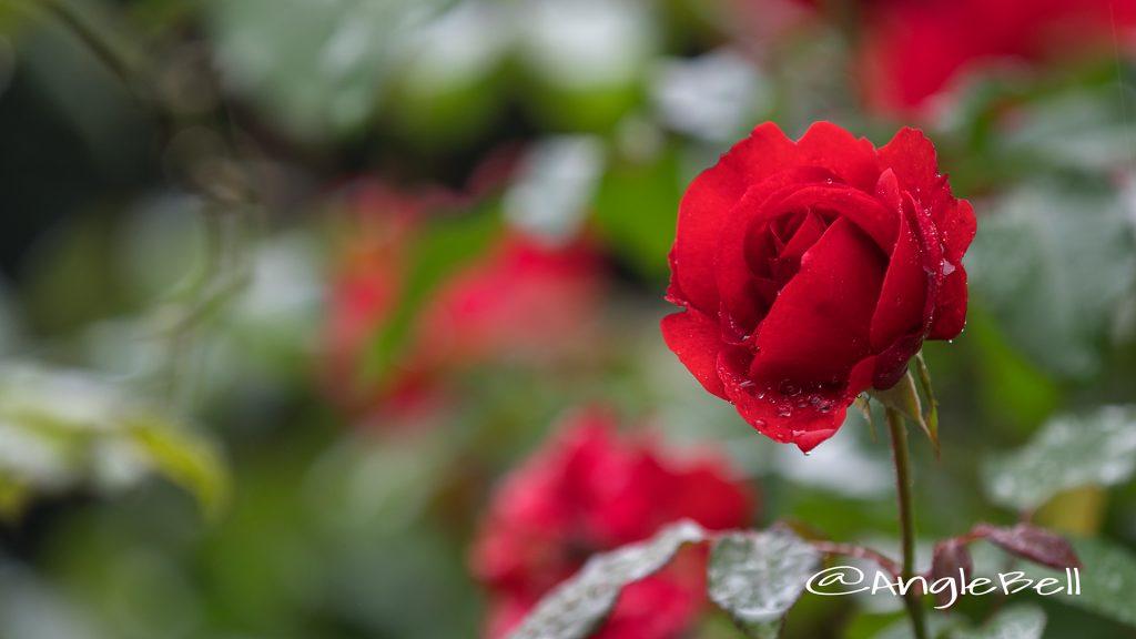 サンタ マリア (バラ) Flower Photo1