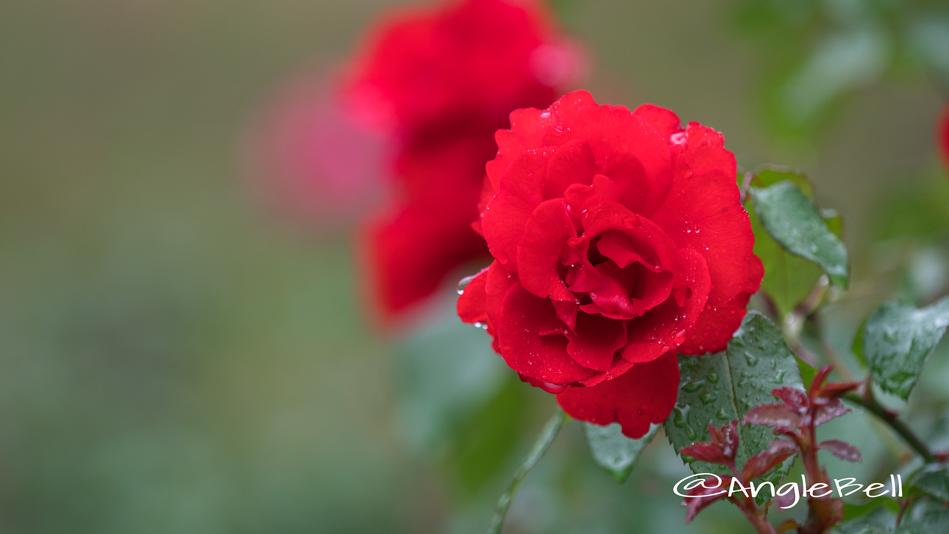サンタ マリア (バラ) Flower Photo2