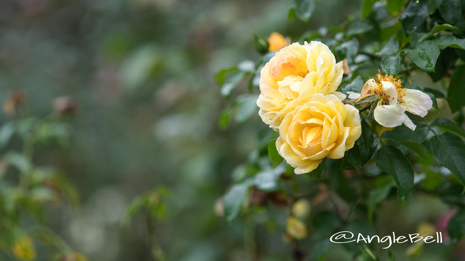 シャトード シュベルニー (バラ) Flower Photo3