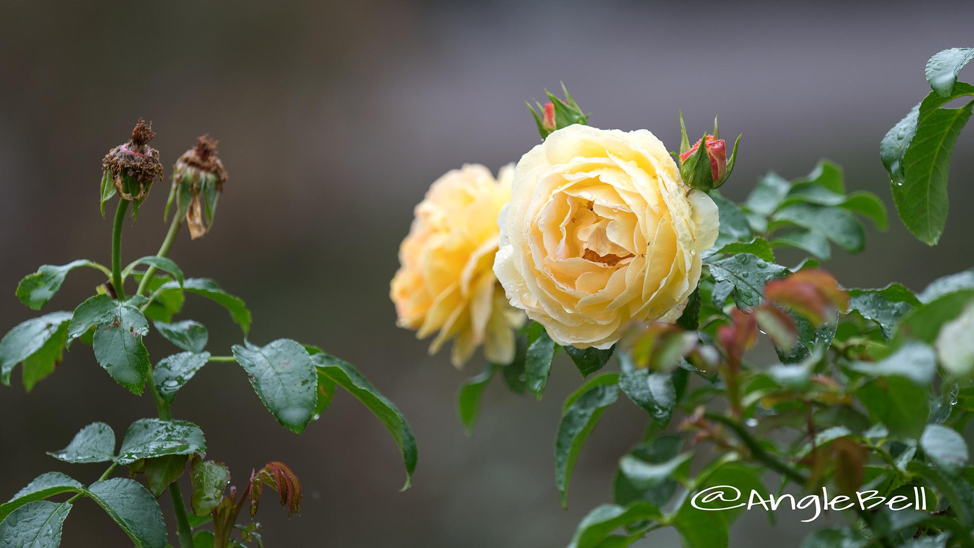 シャトード シュベルニー (バラ) Flower Photo2