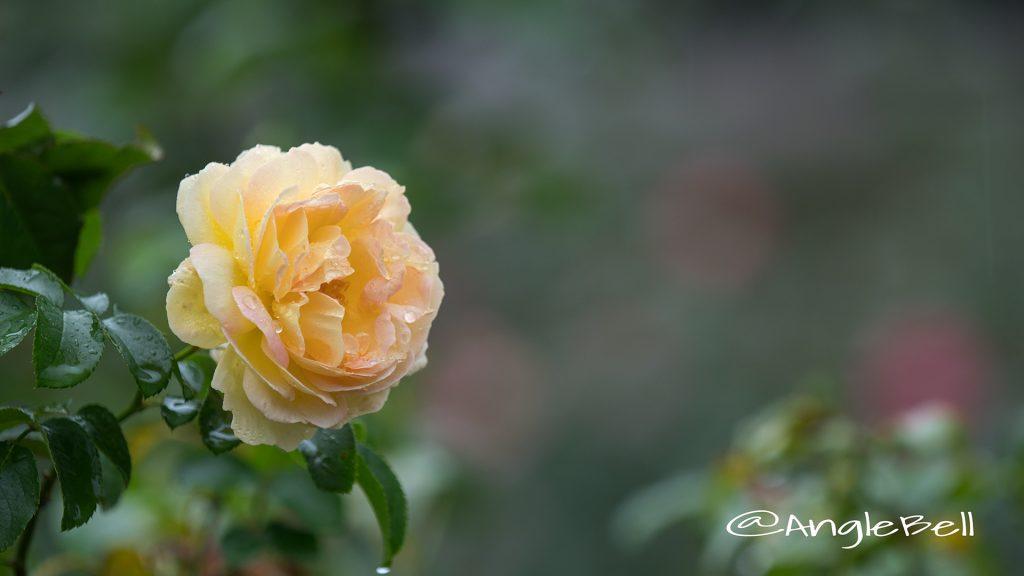 シャトード シュベルニー (バラ) Flower Photo1