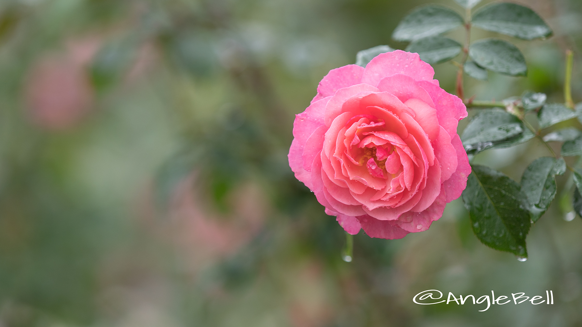 レイモン ブラン (バラ) Flower Photo2