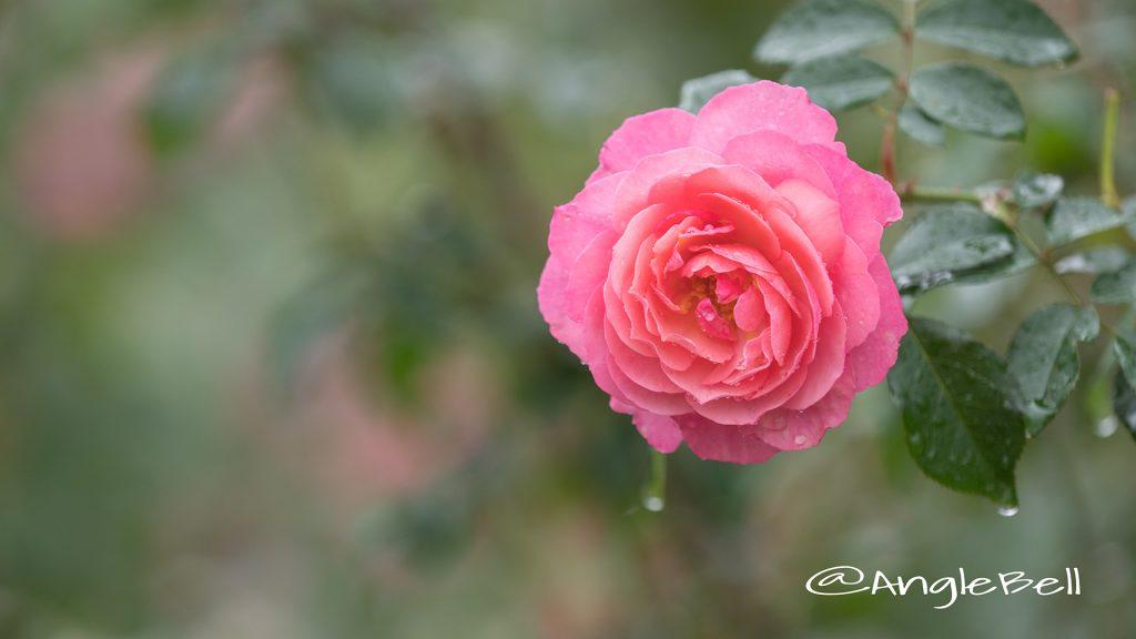 レイモン ブラン (バラ) Flower Photo1