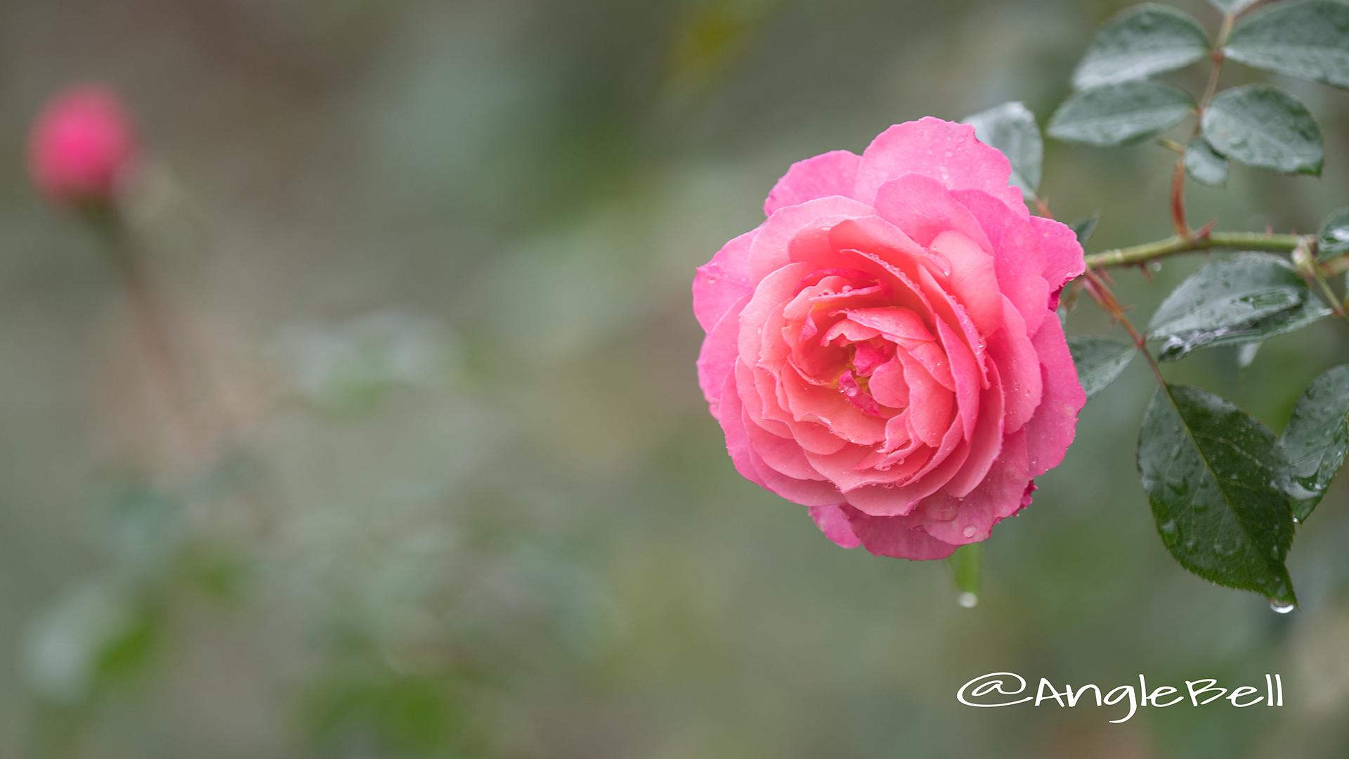 レイモン ブラン (バラ) Flower Photo3