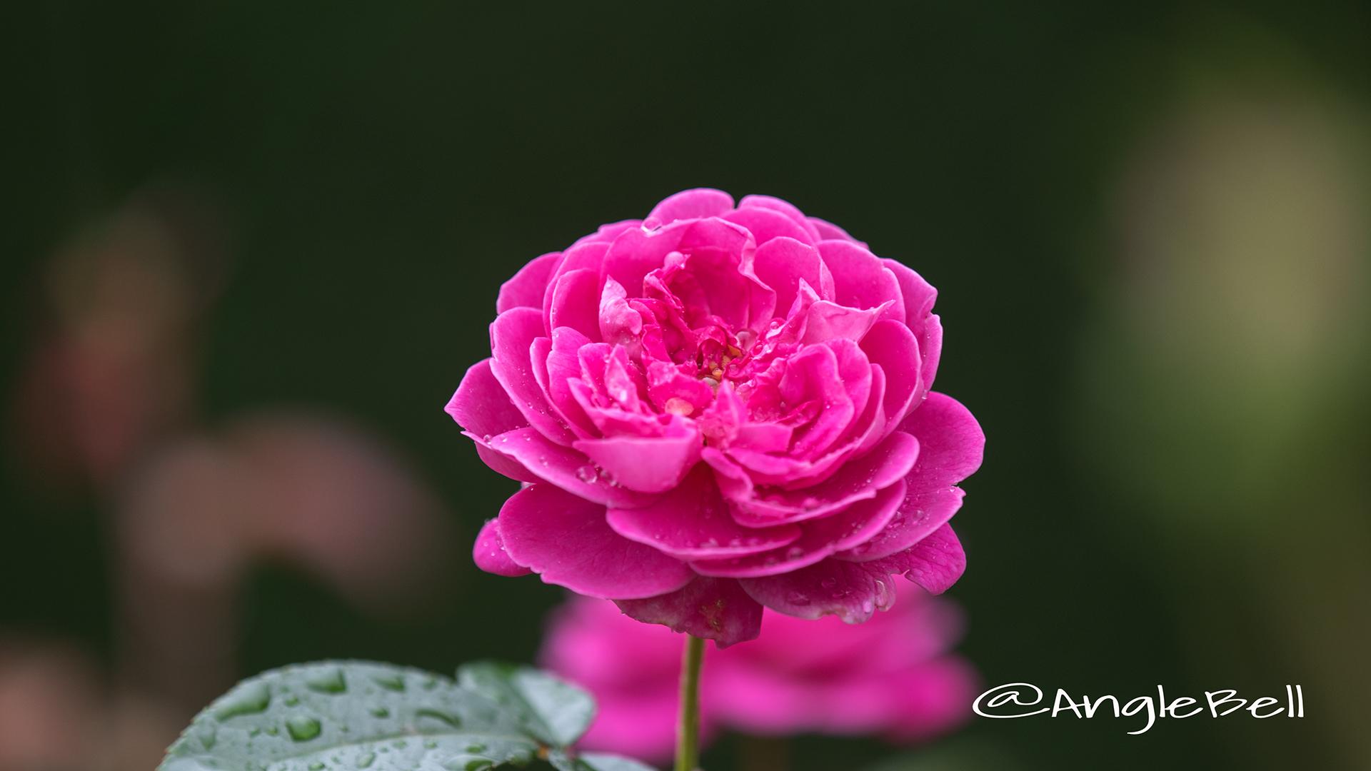 ブルーボーイ (バラ) Flower Photo2