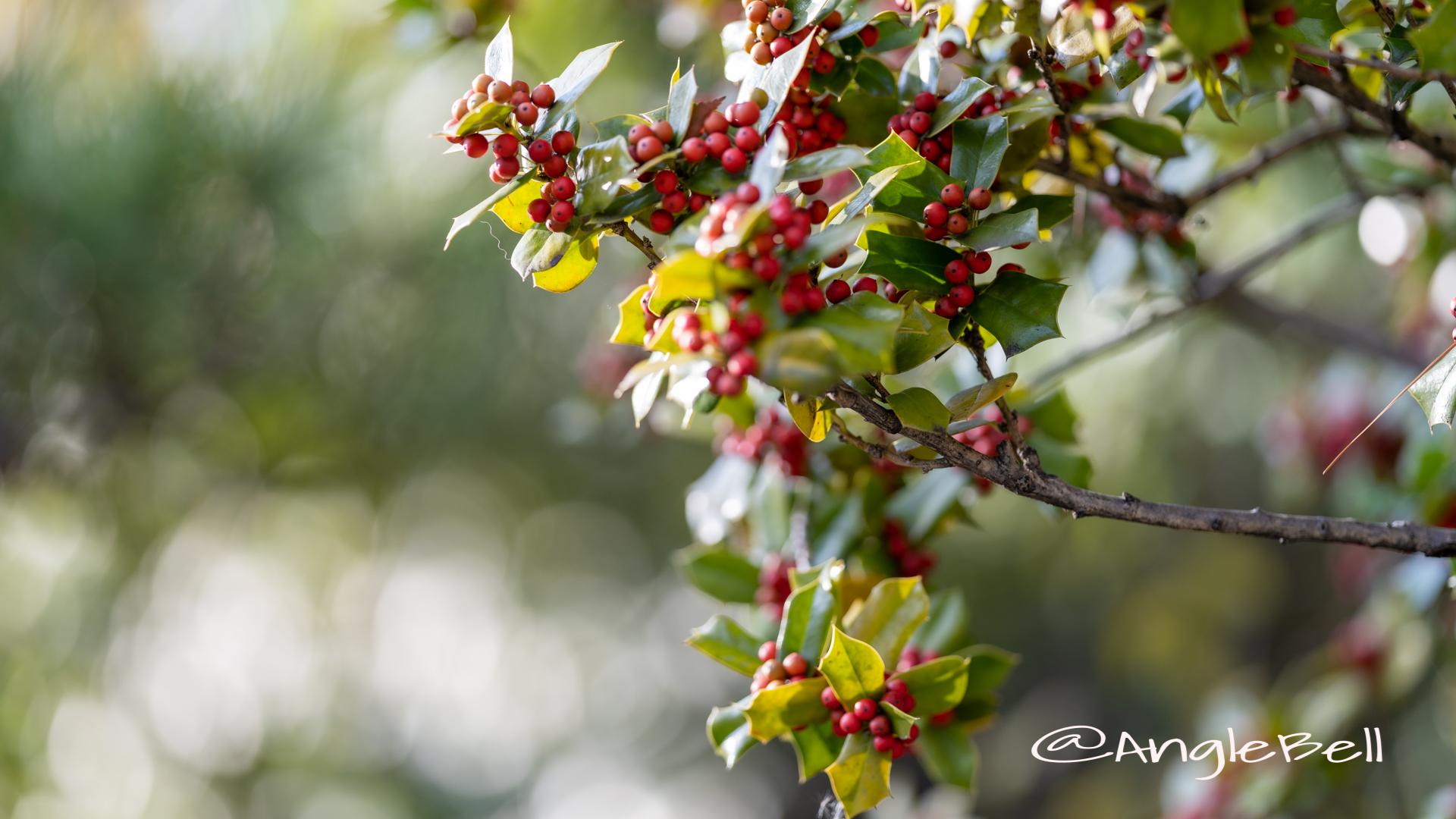 シナヒイラギ 支那柊 Flower Photo2019_2