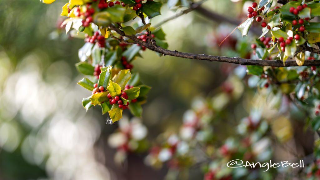 シナヒイラギ 支那柊 Flower Photo2019_1