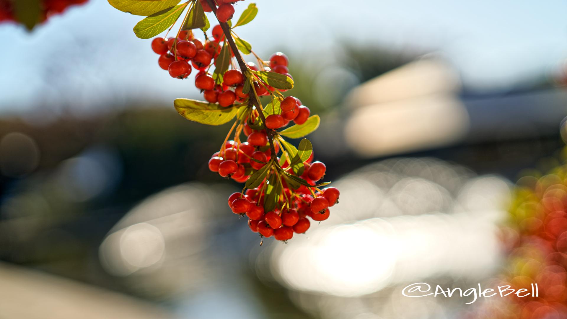 ピラカンサ (実) Flower Photo2019_2