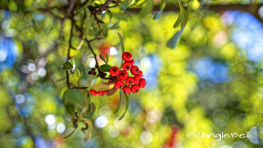 ピラカンサ (実) Flower Photo2019_3