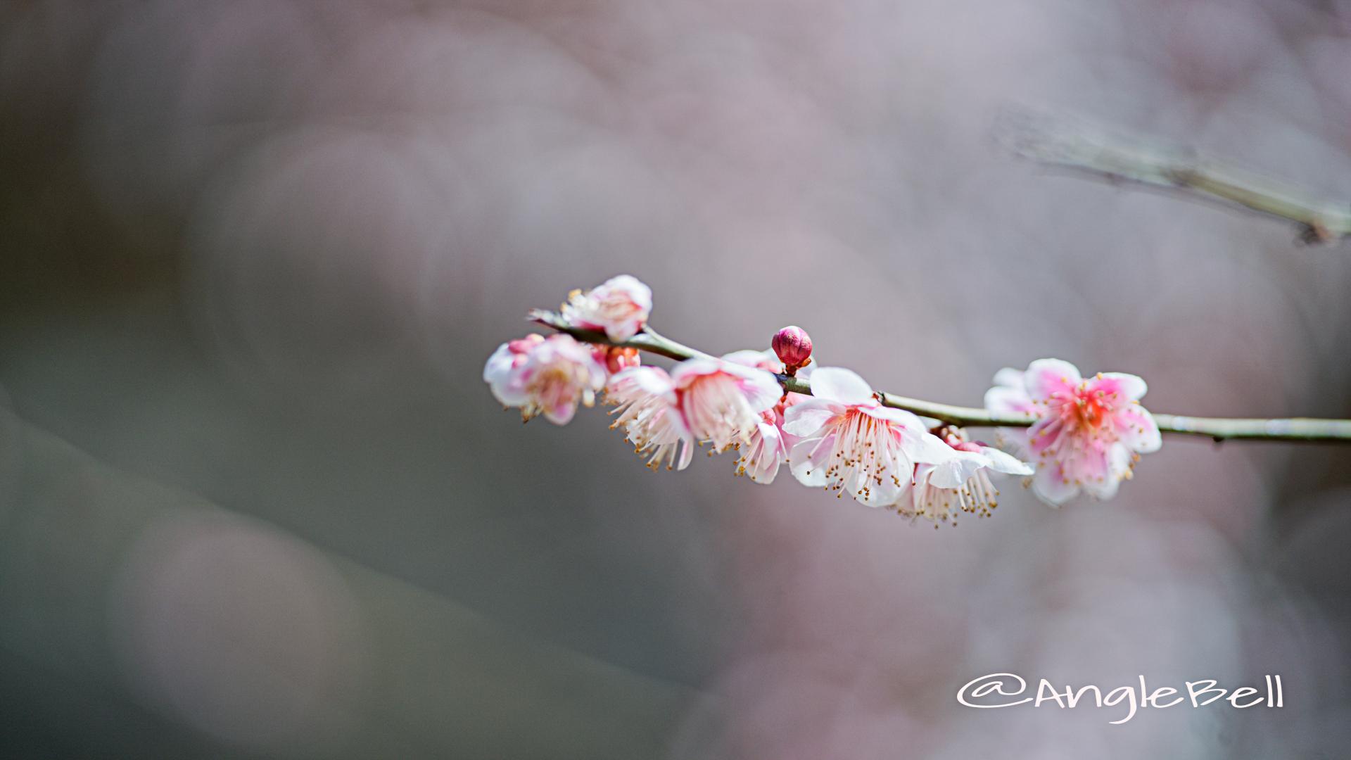 思いのまま粧 (梅) Flower Photo2020_4
