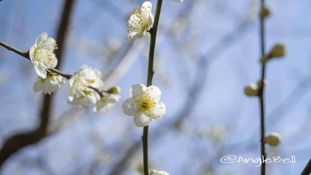 青軸 Flower Photo1