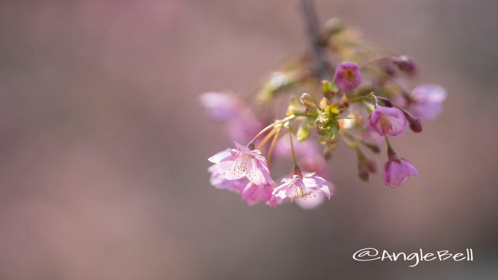 カワヅザクラ 河津桜 Flower Photo2020_2