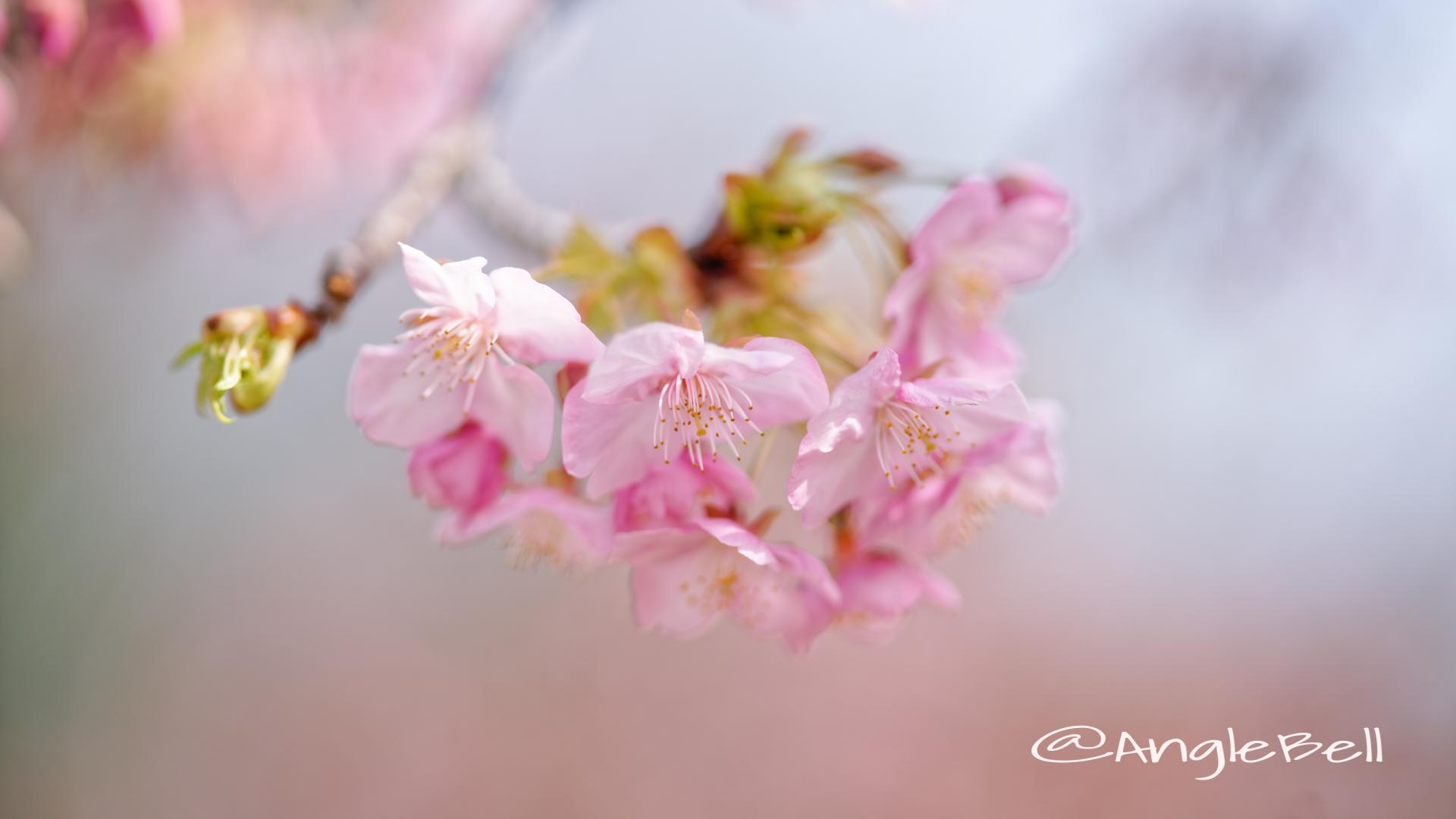 カワヅザクラ 河津桜 Flower Photo2020_1
