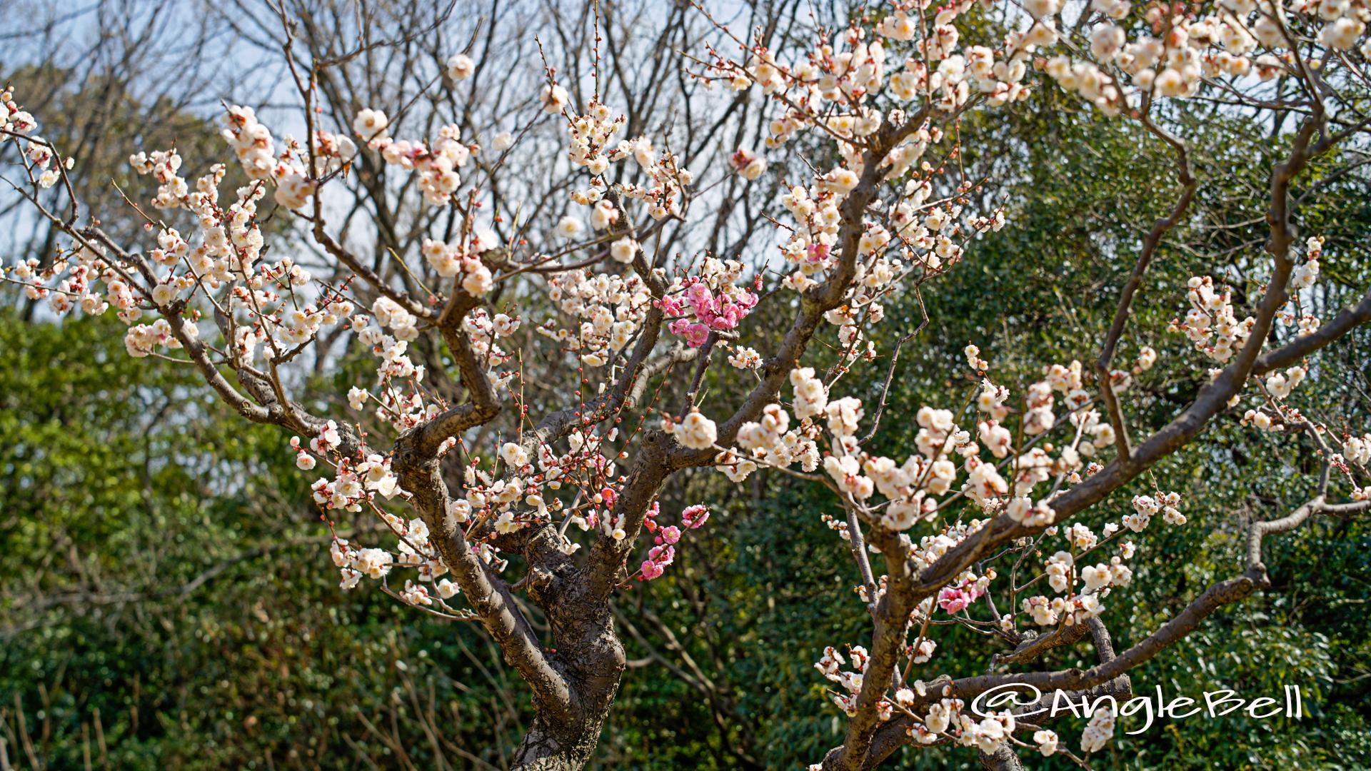 思いのまま粧 (梅) Flower Photo2020_5