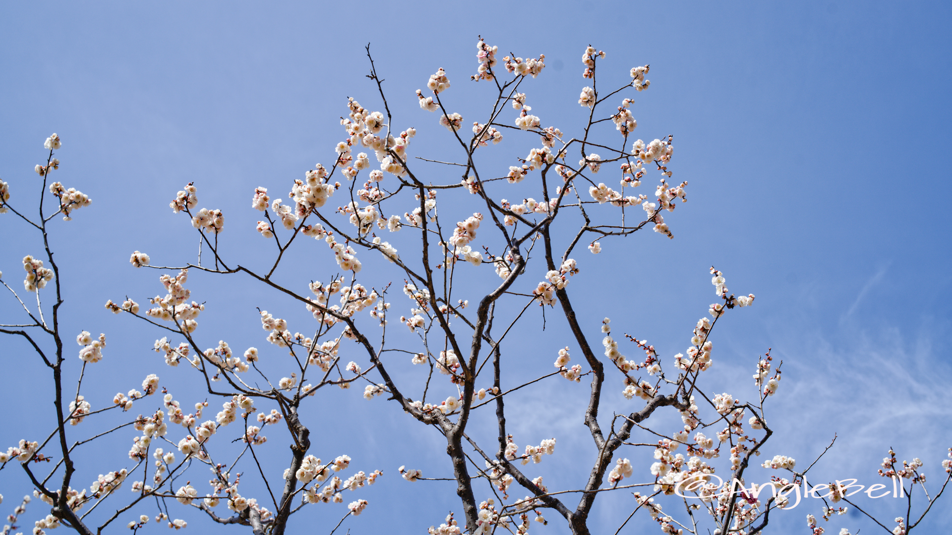 思いのまま粧 (梅) Flower Photo2020_2