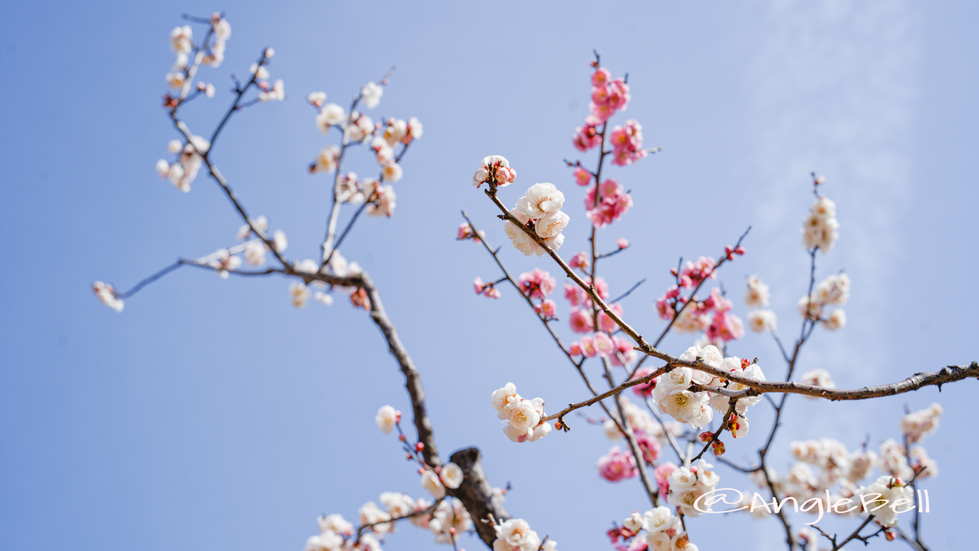思いのまま粧 (梅) Flower Photo2020_1